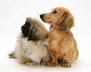 Pekingese And Dachshund Puppies Print by Jane Burton