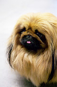 Panting Dog Prints - Pekingese Print by Andrew Fladeboe