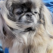 Portraits Pyrography - Pekingese Portrait  by Valia Bradshaw