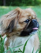 Pekingese Framed Prints - Pekingese Pup Framed Print by Jeremy Adams