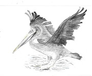 Pelican Drawings Framed Prints - Pelican 2 Framed Print by Sal Lomick