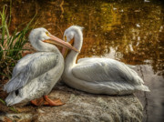 White Pelicans Framed Prints - Pelican Bay  Framed Print by Saija  Lehtonen