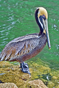Waterfowl Prints - Pelican By The Pier Print by Deborah Benoit