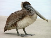 Birding Photos - Pelican Close-up by Al Powell Photography USA
