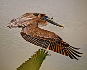 Mike Covington Art - Pelican Cruise by Mike Covington