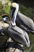 Pelican Duo Print by Deborah Benoit