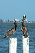 Galveston Framed Prints - Pelican Duo Framed Print by Robert Anschutz