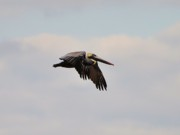 Pelican Flight Print by Al Powell Photography USA