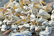 Gathering Photos - Pelican Gathering by Patrick M Lynch