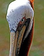 Pelican Originals - Pelican Head by Michael Thomas
