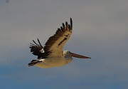 Pelican In Flight 5 Print by Blair Stuart