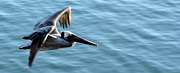 Brad Holderman - Pelican in Flight