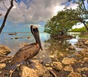 Seabird Prints - Pelican in the Florida Keys Print by William Wetmore