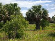 Palmetto Plants Photos - Pelican Island NWR in Florida by Allan  Hughes