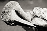 Interesting Photos - Pelican by Justin Albrecht