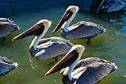 Colorful Bird Prints - Pelican Lunch Bunch by Carmen Del Valle