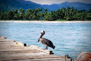 Caribe Posters - Pelican on a Pier Poster by George Oze