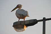 Streetlight Posters - Pelican On A Streetlight Poster by David Kleinsasser