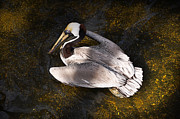 Golden Pond Framed Prints - Pelican on Golden Pond Framed Print by Mary Machare