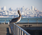 Wooden Dock Prints - Pelican on Pier Railing Print by David Buffington