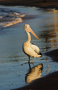 Australian Wildlife Prints - Pelican on the beach Print by Michael  Nau