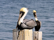 Florida Wildlife Photography Posters - Pelican pair Poster by David Lee Thompson