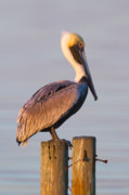 Brown Pelican Prints - Pelican Perch Print by Janet Fikar