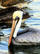 Sea Birds Posters - Pelican Pete Poster by Karen Wiles