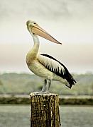 Pelican Framed Prints - Pelican Poise Framed Print by Holly Kempe