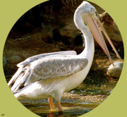 Image Of Bird Prints - Pelican Portal Print by Debra     Vatalaro