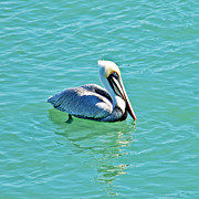 Aquas Prints - Pelican Portrait Print by Aimee L Maher
