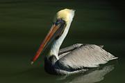 Robert Anschutz - Pelican Portrait