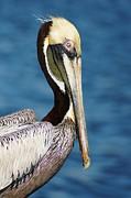 Pelican Profile Print by Lynda Dawson-Youngclaus