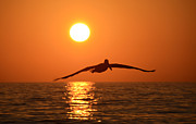 Brown Pelican Prints - Pelican sunset Print by David Lee Thompson