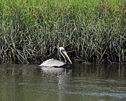 Tidal Creek Posters - Pelican Swimming Poster by Al Powell Photography USA