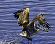 Pelican Prints - Pelican Take Off Print by Roger Wedegis