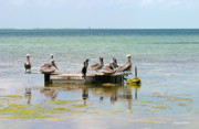 Anhinga Prints - Pelicans and Anhingas in Islamorada Florida Print by Michelle Wiarda