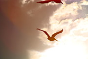 Pelicans At Sunset Print by Lori Kasper