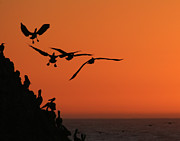 Point Lobos Reserve Framed Prints - Pelicans at Sunset Framed Print by TB Sojka