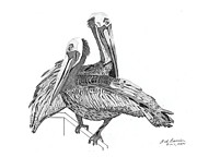 Pelican Drawings Metal Prints - Pelicans Metal Print by Bob Garrison