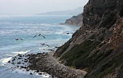Hunt Acrylic Prints - Pelicans colony flying over cliff Acrylic Print by Viktor Savchenko