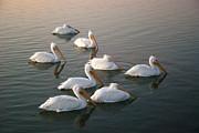 Robert Anschutz - Pelicans Eight