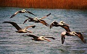 Paulette Thomas Photography Prints - Pelicans flying through the Marsh Print by Paulette  Thomas