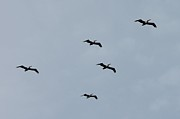 Lorri Crossno - Pelicans In Flight II