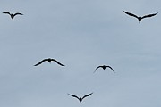 Lorri Crossno Metal Prints - Pelicans In Flight Metal Print by Lorri Crossno