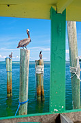 Islamorada Photos - Pelicans by Mike Horvath