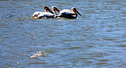 Sea Birds Prints - Pelicans Print by Nick Gustafson