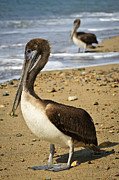 Pelican Metal Prints - Pelicans on beach in Mexico Metal Print by Elena Elisseeva