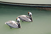 Seashore Photos - Pelicans Partners by Suzanne Gaff