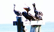 Catcher Painting Prints - Pelicans Print by Shere Crossman